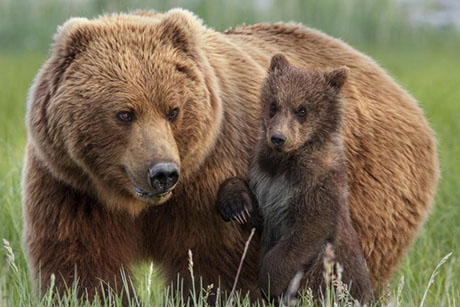 bears_disneynature_2